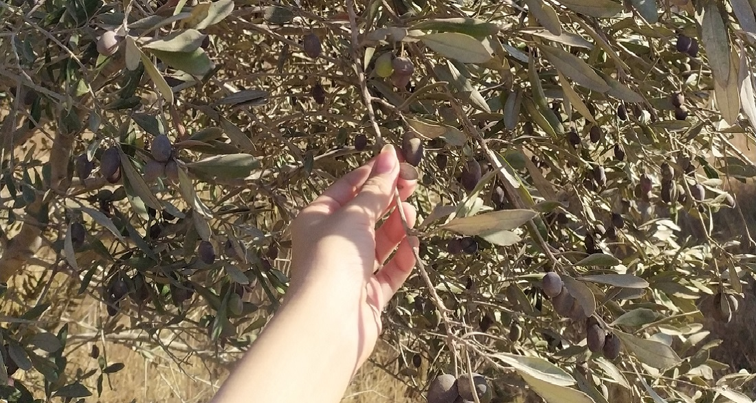 hand reaching for olive in tree